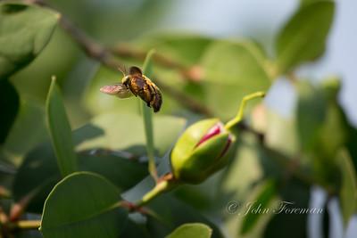 Valley Carpenter Bee, Jakarta