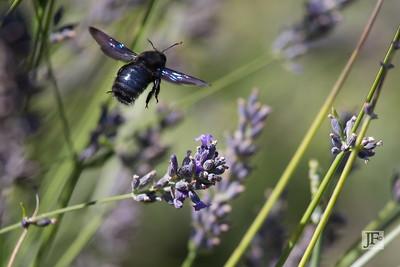 Carpenter Bee, Luberon
