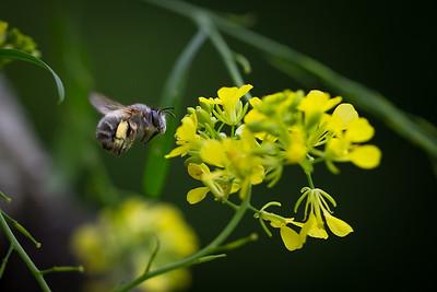 Honeybee, Gers