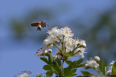 Honeybee, Suffolk