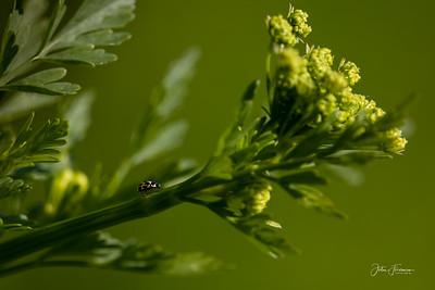 14 Spot Ladybird, Dorset