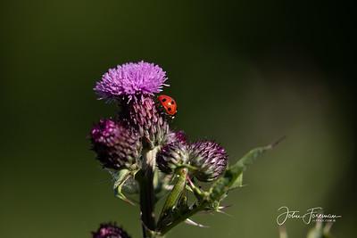 Ladybird, Stour Valley