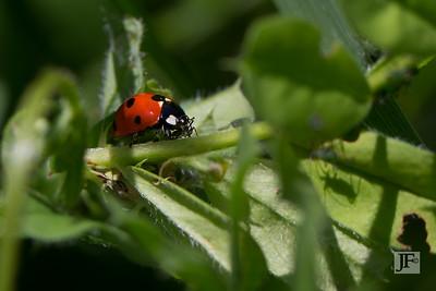 Ladybird, Gers