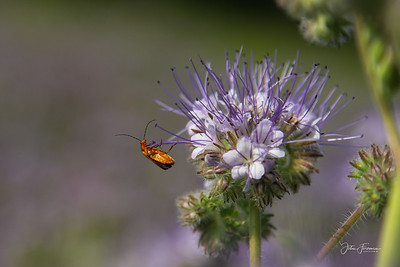 Common Red Soldier Beetle, Suffolk