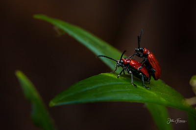 Scarlet Lily Beetles, Hampshire