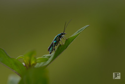 Thick-legged Flower Beetle, Gers