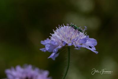 Thick-legged Flower Beetle, Dorset