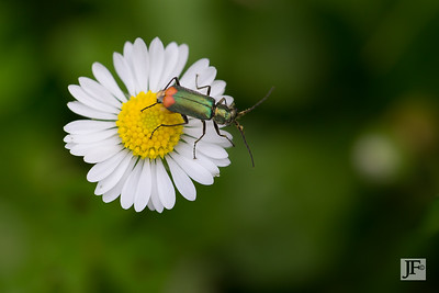 Red tipped Flower Beetle, Gers