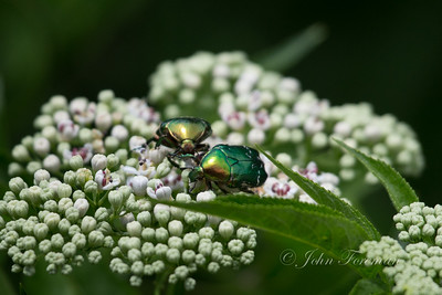 Flower chafers, France