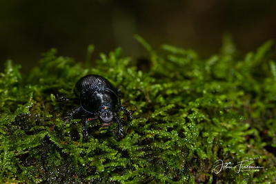 Earth -boring Dung Beetle, New Forest