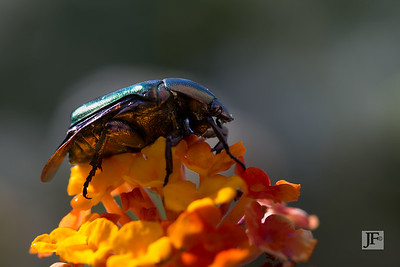 Flower chafer, Luberon