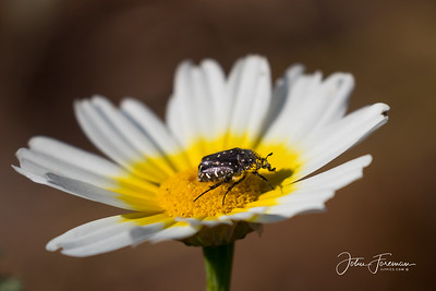 White Spotted Rose Beetle, Andalucia