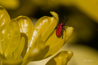 Scarlet Lily Beetle, Hampshire
