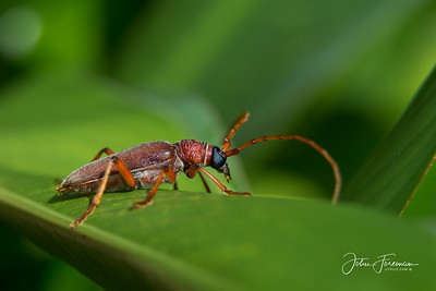 Long-horned Beetle, Hikkaduwa