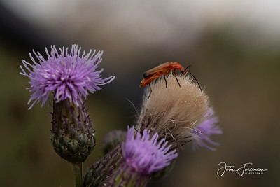 Common Soldier Beetle, Dorset