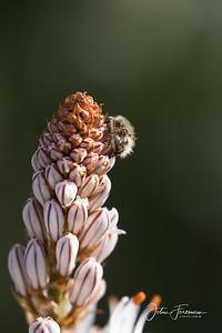 Hairy Rose Beetle, Mijas