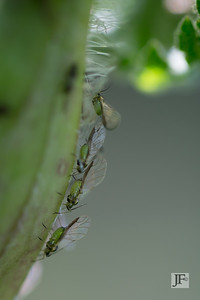 Aphids, Suffolk