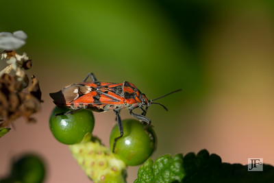 Red Cabbage Beetle, Luberon