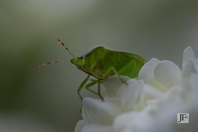 Shield bug, Gers