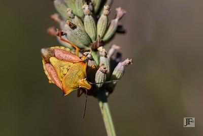 Shield Bug, Luberon
