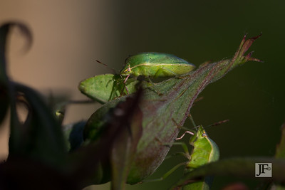 Shield bugs, Gers