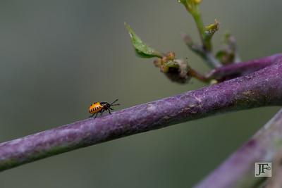 Nymph Pentatomidae, Gers