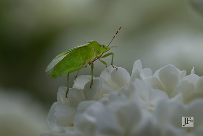 Shield bug, Gers