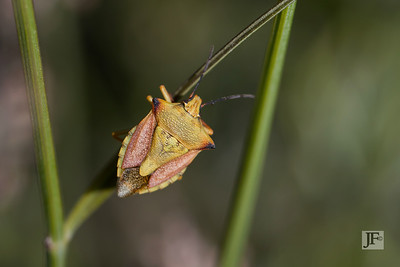 Shield Bug, Luberon