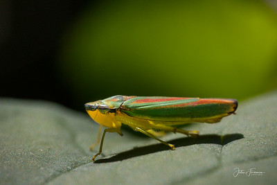 Leaf Hopper, Hampshire