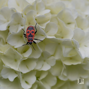 Red Cabbage Bug, Gers