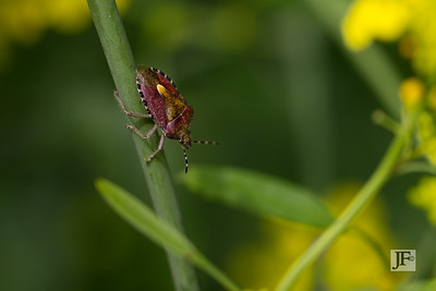 Dolycoris baccarum, Gers