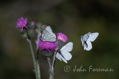 Black-veined White, Gorges du Verdon