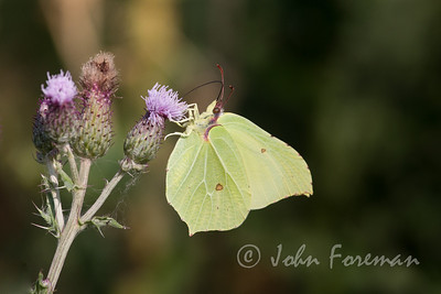 Brimstone, Suffolk
