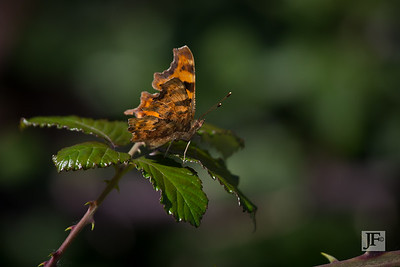 Comma, Suffolk