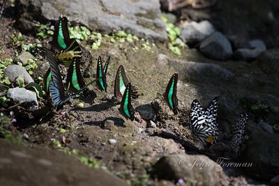 Common Bluebottles, West Sumatra