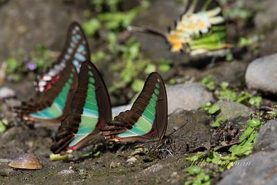 Common Bluebottle, West Sumatra