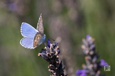 Common Blue, Luberon