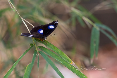 Great Eggfly, Burubador