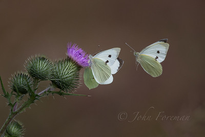 Green-veined Whites, Suffolk