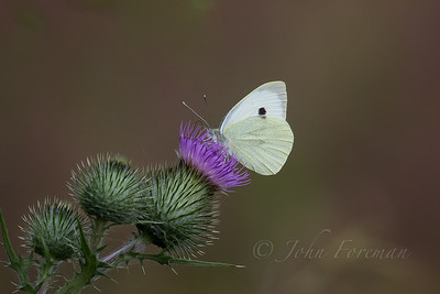 Green-veined White, Suffolk
