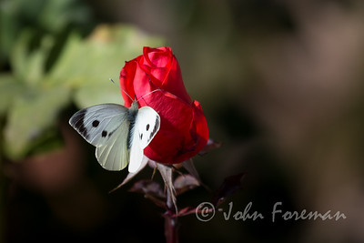 Cabbage White, Morocco