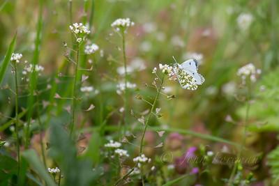 Green-striped White butterfly, Suffolk