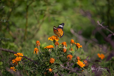 Leopard Lacewing, Ranthambore