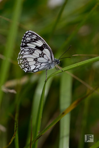Marbled White, Gers