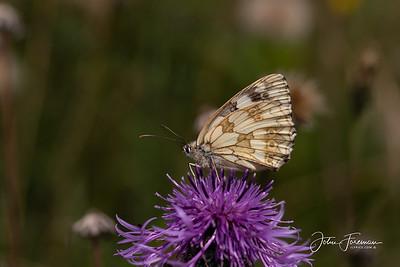 Marbled White, Dorset