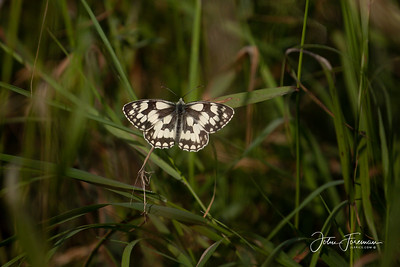 Marbled White, Wiltshire