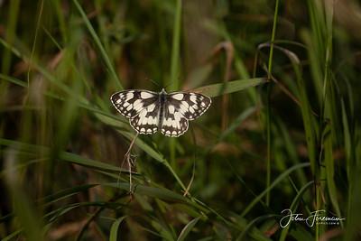 Marbled White, Wiltshire