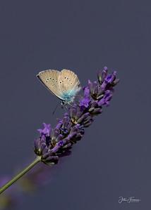 Mazarine Blue, France