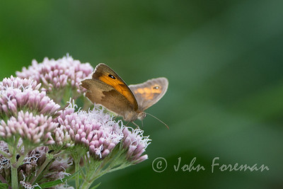 Meadow Brown, Suffolk