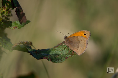 Meadow Brown, Holkham
